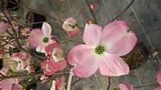CORNUS FLORIDA CHEROKEE CHIEF